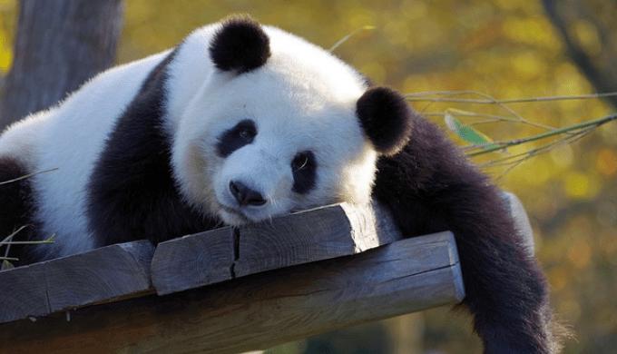 ごろごろしているパンダ