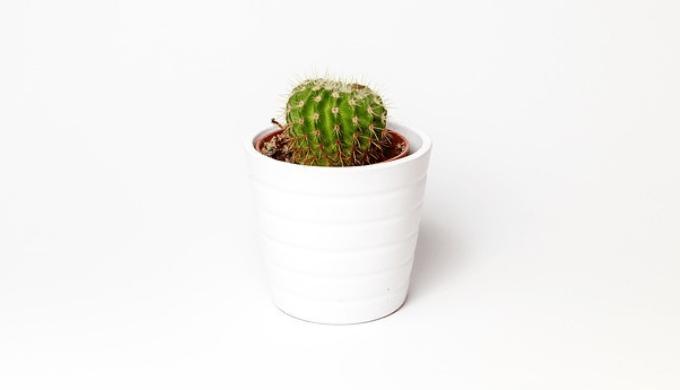 鉢に植えられたサボテン
