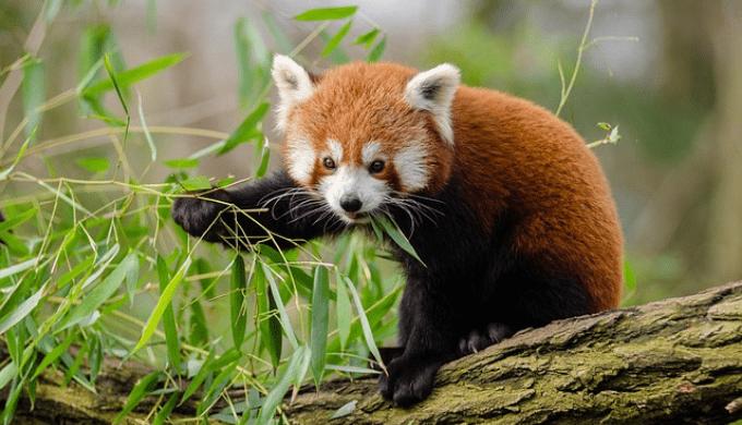 笹を食べているレッサーパンダ