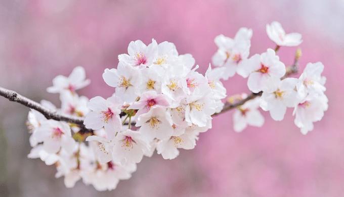 満開になった桜の花