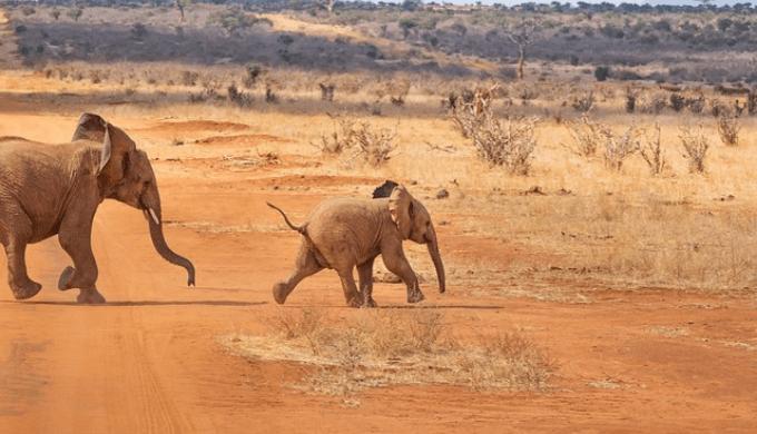 サバンナにいる象の親子