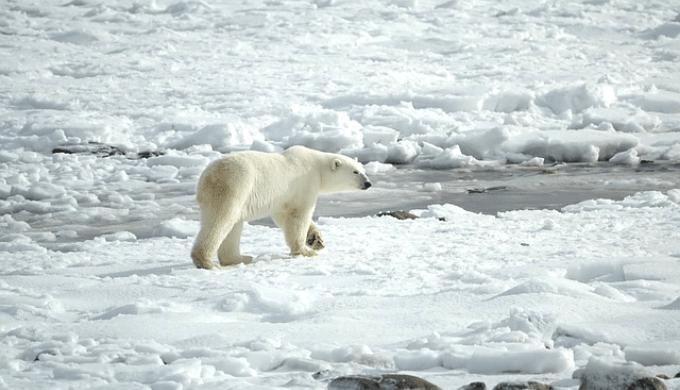 氷の上を歩くホッキョクグマ