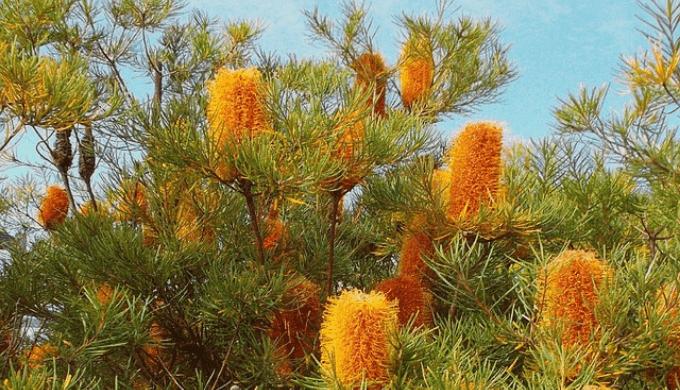 バンクシアの木