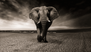 象の白黒写真