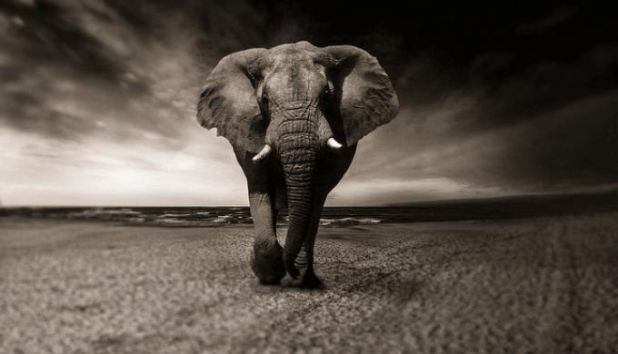 悲しげな象の白黒写真